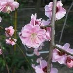 春の香り~梅~北野天満宮