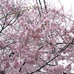 8分咲きの桜出会えた