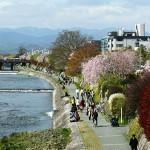 綺麗なものは何度見たっていいねぇ~桜~鴨川沿い