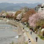 4月3日京都河原町の鴨川周辺の桜