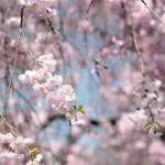 4月2日・・・鴨川沿いの桜