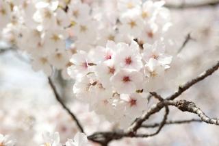京都嵐山の桜