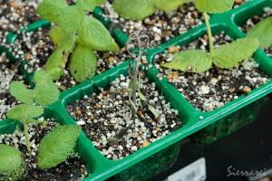 ラバンディンラベンダーの挿し芽