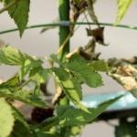 ボイセンベリーの茎が虫にやられてる