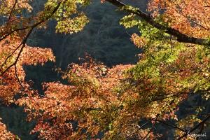 京都嵐山-紅葉