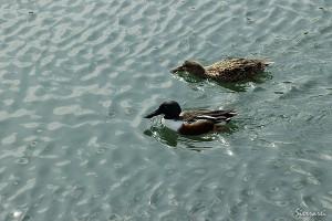大阪城のお堀で泳ぐ鴨