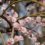 大阪城公園の梅林いろいろ