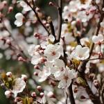 ヤマザクラ(たぶん・・・)、小ぶりな木でしたが見事な咲きっぷり