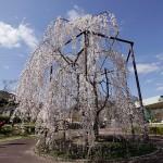 しだれ桜さん、見事です。綺麗!