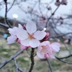 ソメイヨシノの桜ももうすぐ