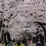 桜の花、今年も綺麗でした