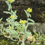 へぇ~これが春の七草のゴギョウ(御形)[正式には、ハハコグサ]なんだね。