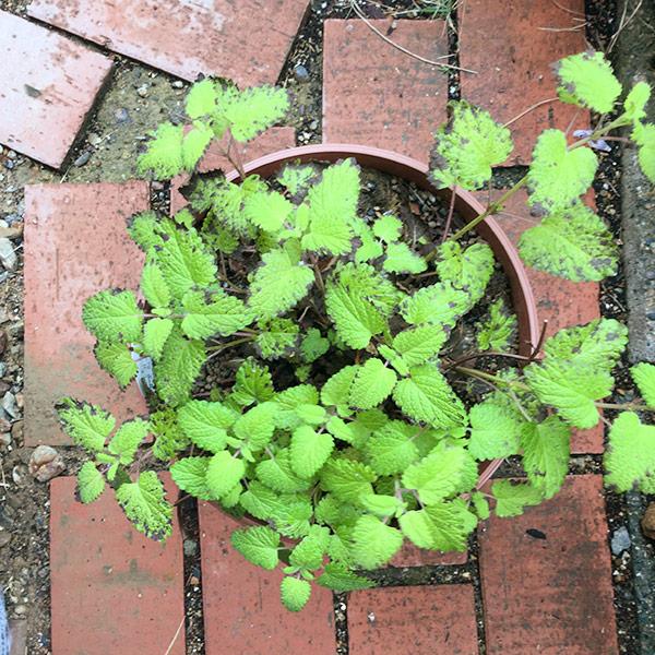 レモンバームの葉が黒ずむ