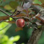 ヤマザクラだと思っていた木に、実がなっていた。この木は、「紅葉李(ベニバスモモ)」のようだ)