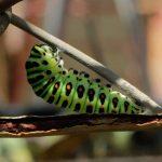 キアゲハの幼虫発見!そして3日後、蛹(さなぎ)へ