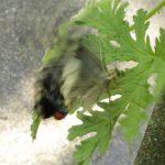キアゲハがローズゼラニウムに産卵。はたして、ふ化しても育つのか?