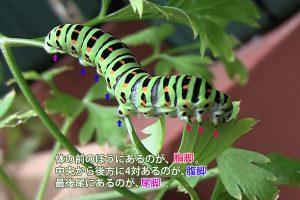 キアゲハの幼虫の脚