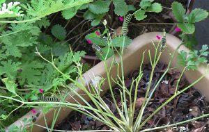キアゲハの幼虫。イタリアンパセリ