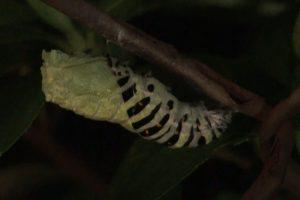 キアゲハの蛹化