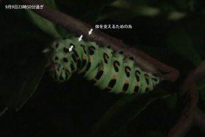 キアゲハの前蛹準備