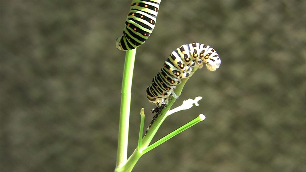 キアゲハの幼虫-脱皮の抜け殻を食べる