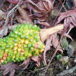 山Run中に見つけた初めてみる植物・・・どうも「マムシグサ(蝮草)」のようだ