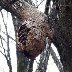 山で見つけたでかい蜂の巣。暖かい季節になって山へ出かけるときは要注意。