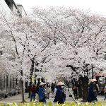 4月6日:京都河原町、鴨川沿いの桜の様子