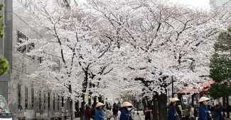 2017年京都白川の桜