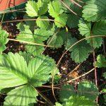 ワイルドストロベリー:ランナーが土に根付く1ヶ月ほどの様子