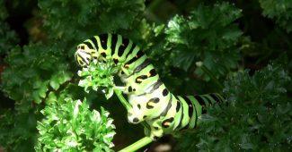 パラマウントパセリを食べるキアゲハの幼虫