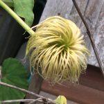 初めて見たとき、金髪ウィッグが沢山なっている植物があると思ってびっくりしたよ。・・・クレマチス
