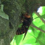 ときどき庭にやってくるお客様がめちゃめちゃいかつい・・・オオスズメバチ&ヒメスズメバチ