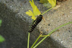 2016年12月のキアゲハの幼虫