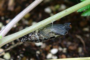 キアゲハの蛹
