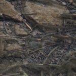 カワムツ(川鯥)が泳ぐ穏やかな芥川の支流にて 摂津峡(大阪北摂 高槻市)