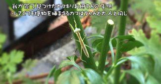 カマキリ(螳螂)の子供